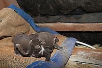 Baummarder, Junge, Jungtiere in ihrem Nest auf einem Dachboden, Baum-Marder, Edelmarder, Edel-Marder, Marder, Martes martes, European pine marten
