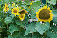 Yellow flowers stock photos images plant flower stock different types of helianthus annuus sunflowers growing in garden mixed yellow flowers large and mightylinksfo