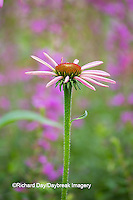 63821-22914 Purple Coneflowers (Echinacea purpurea) Marion Co., IL