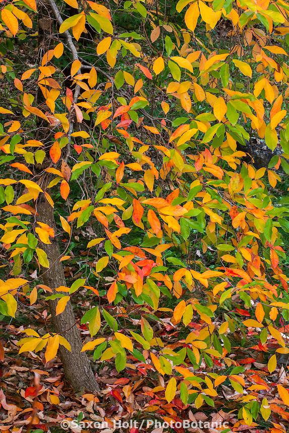Fall leaf foliage, tupelo tree (Nyssa sylvatica) in California garden