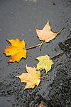 Fall maple leaves on asphalt in rain.