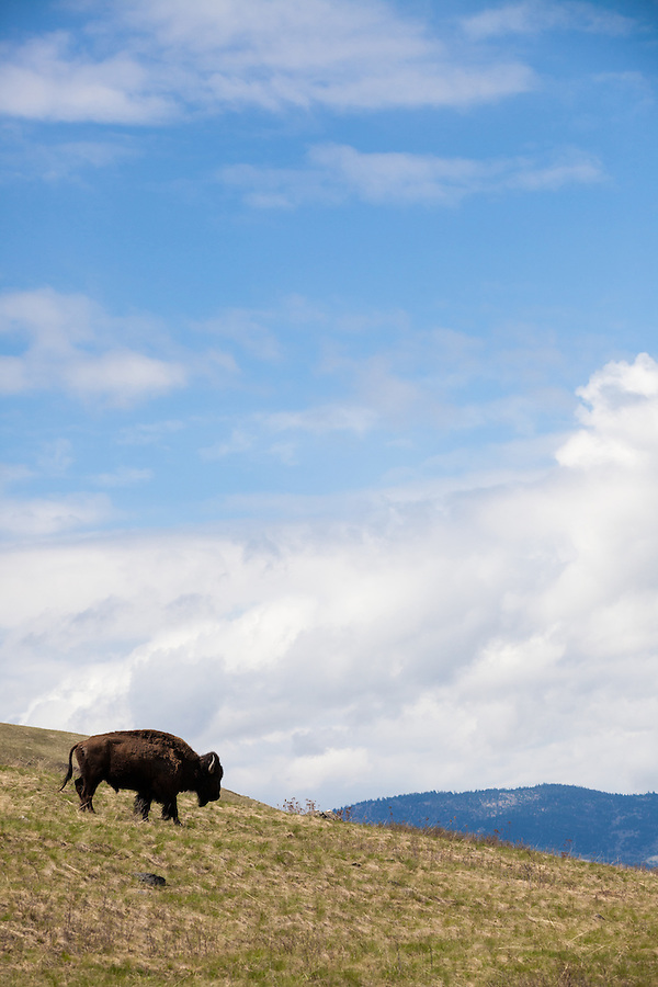 A single buffalo walks down a grassy hill in the National Bison Range, Montana.