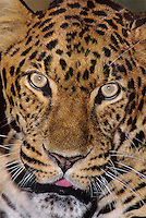 654309024 portrait of an adult male african leopard panthera pardus - animal is a wildlife rescue - species is native to sub-saharan africa