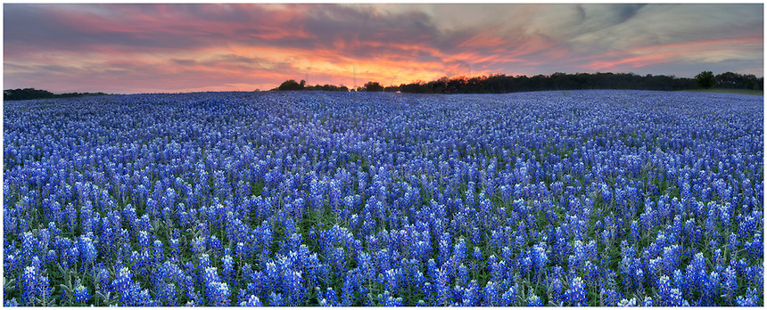 This panorama of Texas' favorite wildflower, the bluebonnet, comes from the edge of the Texas Hill Country at Turkey Bend. Wildflowers were abundant for a brief time this spring, and this field of blue was amazing.
