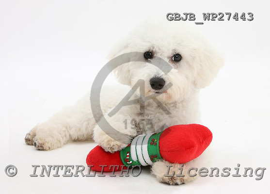 Kim, CHRISTMAS ANIMALS, photos, GBJBWP27443,#XA# stickers
