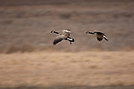 Two Canada geese coming in for a landing over the wetlands in northern Idaho