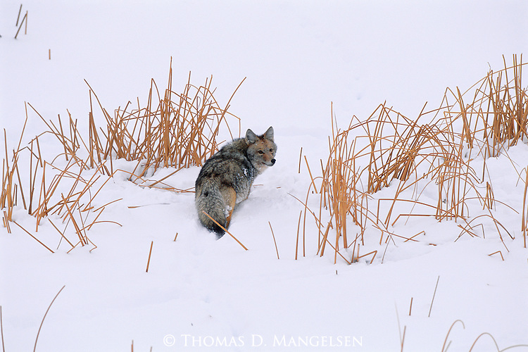 Disappearing among snow-broken reeds, a coyote continues its perpetual journey in search for sustenance during the harsh winter months.