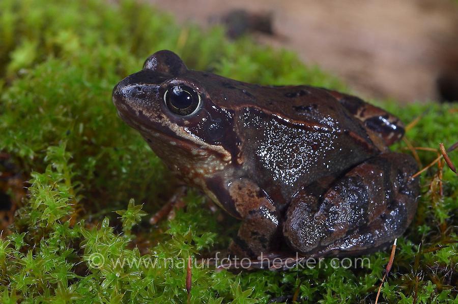 Grasfrosch, Gras-Frosch, Frosch, Rana temporaria, European Common Frog, European Common Brown Frog