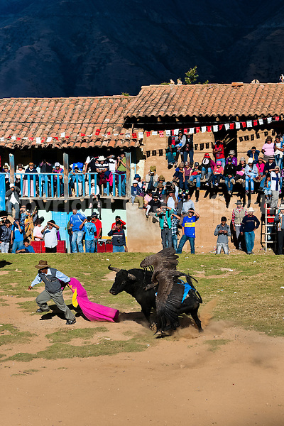 An Andean condor fights against a wild bull, while a bullfighter runs away, during the Yawar Fiesta held in the mountains of Apurímac, Cotabambas, Peru, 30 July 2012. The Yawar Fiesta (Feast of Blood), an indigenous tradition which dates back to the time of the conquest, consists basically of an extraordinary bullfight in which three protagonists take part - a wild condor, a wild bull and brave young men of the neighboring communities. The captured condor, a sacred bird venerated by the Indians, is tied in the back of the bull which is carefully selected for its strength and pugnacity. A condor symbolizes the native inhabitants of the Andes, while a bull symbolically represents the Spanish invaders. Young boys, chasing the fighting animals, wish to show their courage in front of the community. However, the Indians usually do not allow the animals to fight for a long time because death or harm of the condor is interpreted as a sign of misfortune to the community.