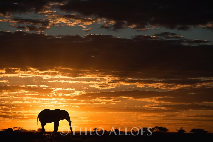 Botswana, Nxai Pan National Park, African elephant bull (Loxodonta africana) silhouetted against sky at sunset