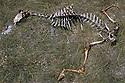 10/06/98 - CAUSSE MEJEAN - LOZERE - FRANCE - Carcasse de brebis laissee par les vautours sur le Causse MEJEAN - Photo  Jerome CHABANNE