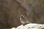 Cassin's finch, (Carpodacus cassinnii), male adult, perched on granite boulders, summer, June, Rocky Mountains, Colorado, USA