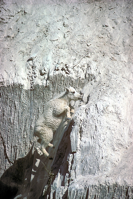 Baby Mountain Goat Jumping up a cliff, Kootenay National Park, British Columbia, Canada