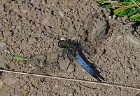 Großer Blaupfeil, Schwarzspitzen-Blaupfeil, Männchen, Orthetrum cancellatum, black-tailed skimmer