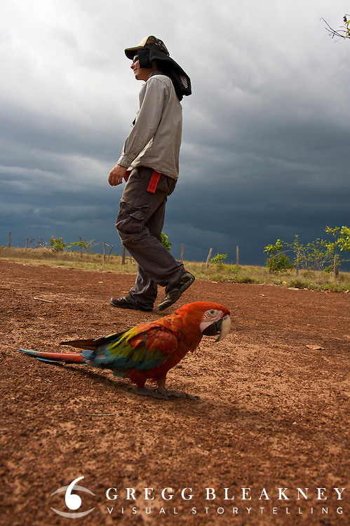A Scarlet Macaw destined for the black market pet trade was returned to la Reserva Natural Bojonawi to be reconditioned for release into to wild - Orinoco River Basin - Colombia - South America