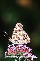 03405-002.11 American Lady (Vanessa virginiensis) on Verbena (Verbena bonariensis), Marion Co.  IL
