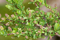 Blaugrüne Weide, Hechtblaue Weide, Salix caesia, Blue willow, Blue Leaved Willow