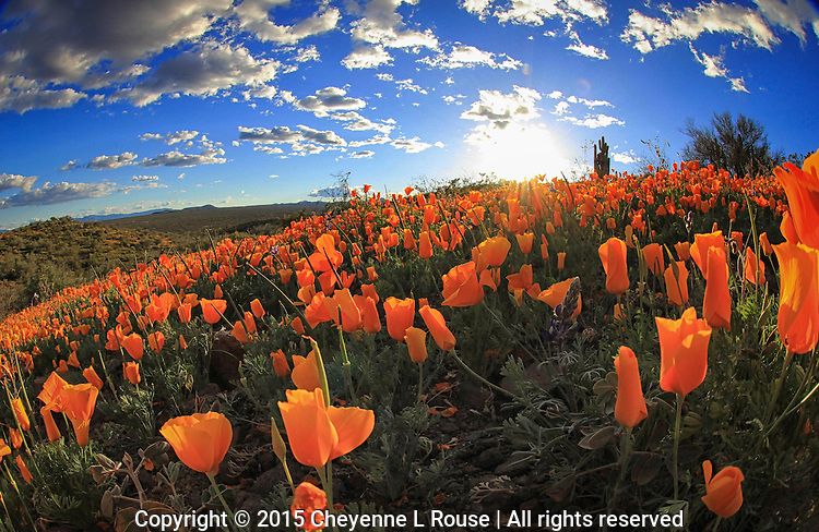 Poppies, poppies and more poppies - Arizona