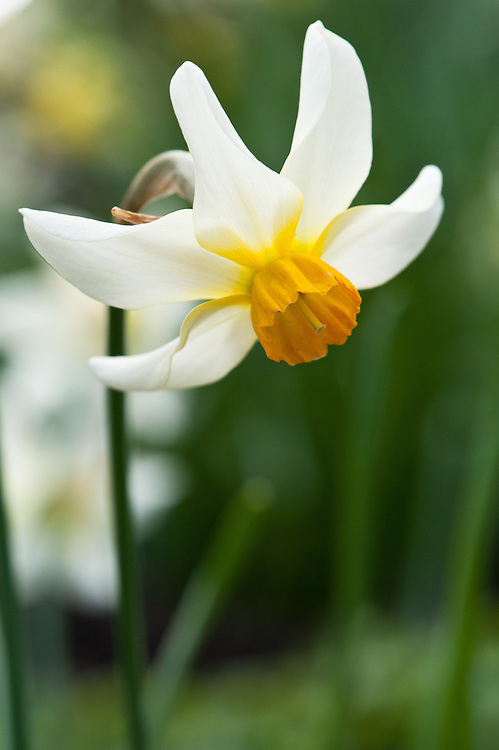 Narcissus 'Beryl', late March.