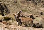 Juvenile Spanish Ibex mock fighting. Sierra de Gredos,Avila, Spain.