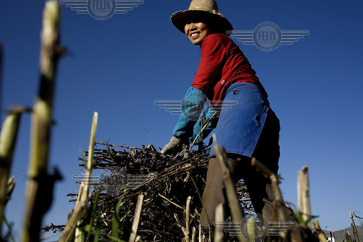 A female farm labourer gathers a large bunch of cuttings from a field near the city of Dali.