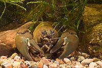 Signalkrebs, Signal-Krebs, Pacifastacus leniusculus, signal crayfish