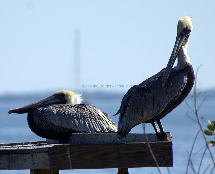 This pair of pelicans are just soaking up the sun and preening a bit.