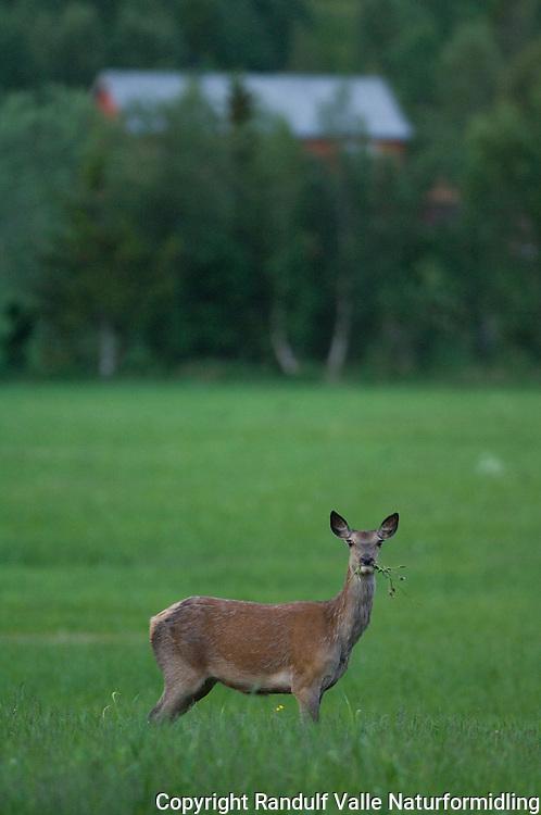 Hjort på jorde en sommerkveld ----- Deer on grass field a summer evening