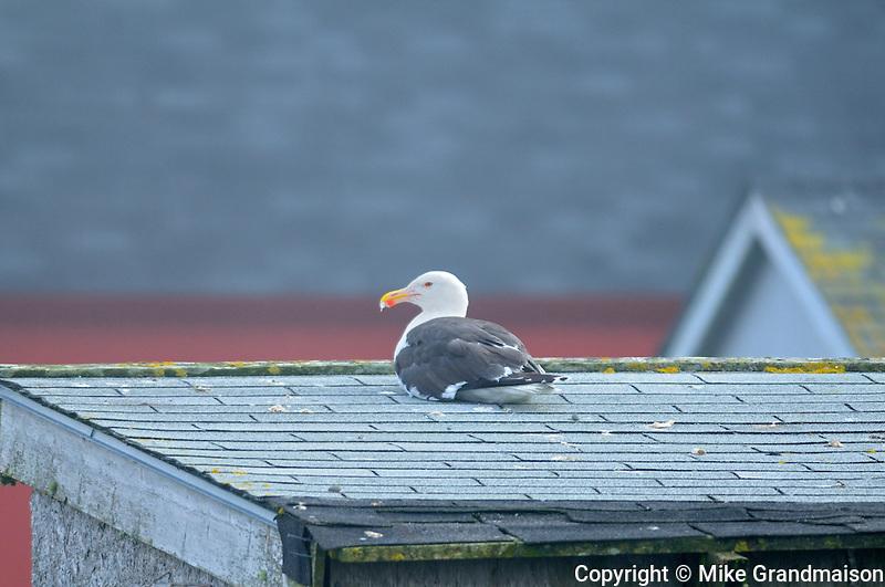Herring gull sitting on a roof top<br /> Westport on Brier Island<br /> Nova Scotia<br /> Canada