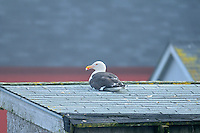 Herring gull sitting on a roof top<br /> Westport on Brier Island<br /> Nova Scotia<br /> Canada