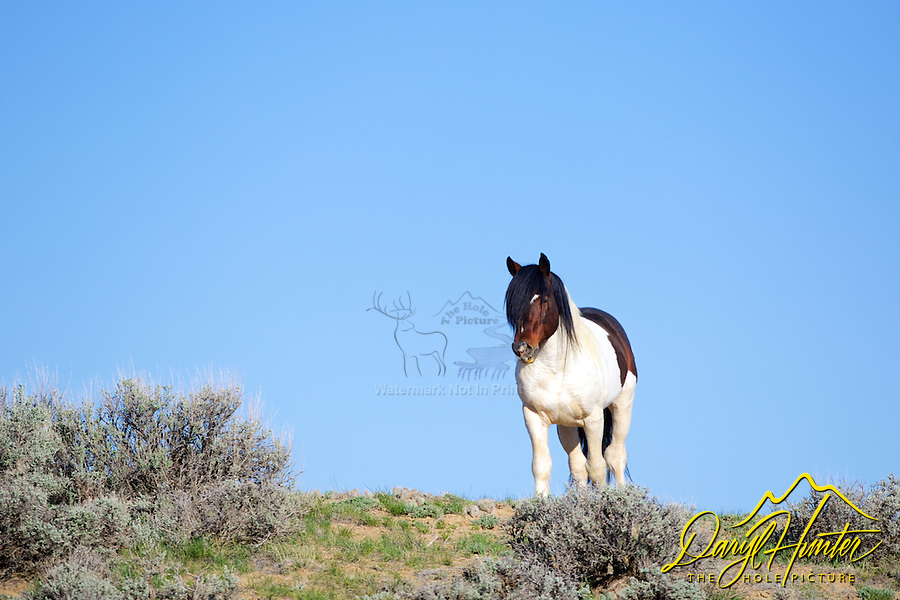 Tri color paint mustang stallion at McCullough Peaks near Cody Wyoming