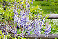 Blue Moon Wisteria macrostachya in bloom on fence, fragrant vine in spring, reblooms