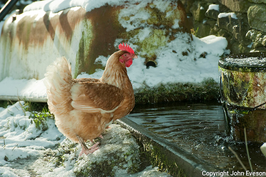 Free range hen drinking from water trough in the snow,  Whitewell, Clitheroe, Lancashire.