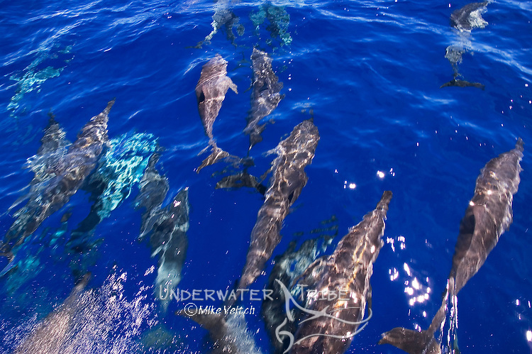 Spinner Dolphins, Stenella longirostris, bow riding, Yap, Micronesia, Pacific Ocean