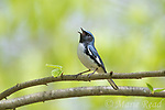 Black-throated Blue Warbler (Dendroica caerulescens) male in breeding plumage, singing in spring, Dryden, New York.