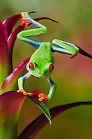 Cute Red-eyed Tree Frog (Agalychnis callidryas) making direct eye contact while holding onto tropical flower. Native to Central America. Captive.