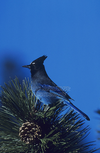Steller's Jay (Cyanocitta stelleri), adfult on pine tree, Rocky Mountain National Park, Colorado, USA