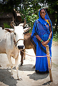 Bedami Devi from a Self Help Group poses for a photo with her cow in Village Rampur of East Champaran district of Bihar, India. Bedami Devi had taken a loan to buy a cow from her SHG. Duncan Hospital in collaboration with the Geneva Global empowers women and supports self help groups in establishing small scale industries and provides assistance. Since 2008 the Foundation and Geneva Global have been investing in the training of medical staff to improve the lives of people living in 600+ villages in the region. The NGOs are delivering cost effective interventions to address treatment, care and prevention of diseases, disability and preventable deaths amongst infants, adolescent girls and women of child-bearing age. There is statistical and anecdotal evidence that there have been vast improvements and a total of 40-50% increased immunization for all children under 6 has meant that communities can be serviced and educated long term. Photograph: Sanjit Das/Panos for Legatum Foundation