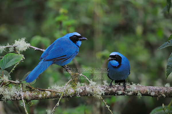 Turquoise Jay (Cyanolyca turcosa), adult with young,Papallacta, Ecuador, Andes, South America
