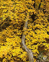 Maple tree in fall color in South Fork; Chiricahua National Monument, AZ