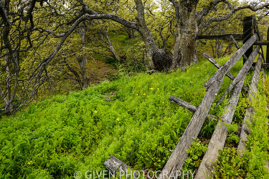 Fence and Oregon Oak, Columbia Hills, Washington