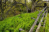 Fence and Oregon Oak, Columbia Hills, Washington
