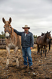 USA, Oregon, Enterprise, Cowboy and Rancher Todd Nash gathers his mule at the Snyder Ranch for a cattle drive in Northeast Oregon