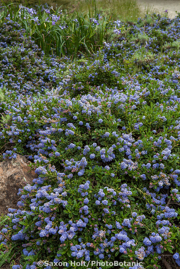 Ceanothus hearstorium 'King Sip' flowering California native groundcover shrub, San Francisco Botanical Garden