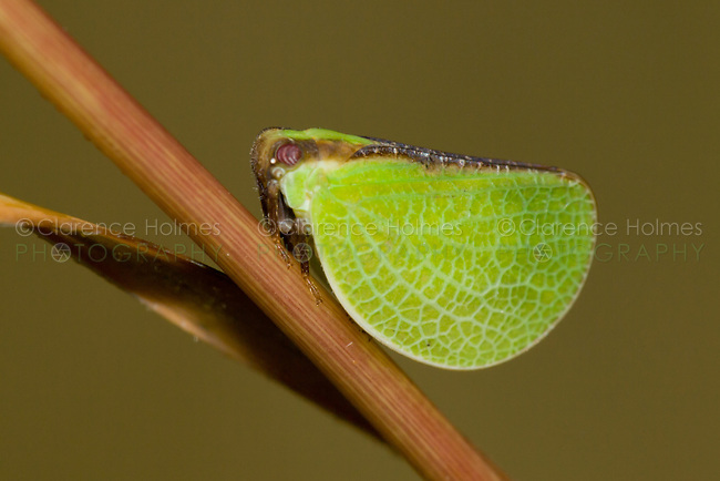 Two-striped Planthopper (Acanalonia bivittata), Ward Pound Ridge Reservation, Cross River, Westchester  County, New York