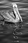 San Pedro, California; a Brown Pelican (Pelecanus occidentalis) floating on the water's surface in late afternoon sunlight