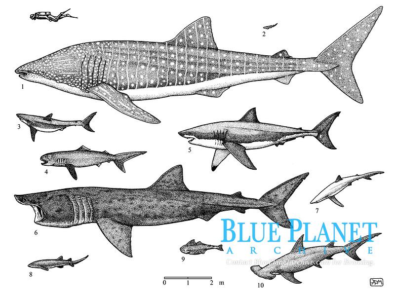 Sharks of the world: 1 whale shark, Rhincodon typus; 2 small-spotted catshark, Scyliorhinus canicula; 3 shortfin mako shark, Isurus oxyrinchus; 4 megamouth, Megachasma pelagios; 5 great white shark, Carcharodon carcharias; 6 basking shark, Cetorhinus maximus; 7 blue shark, Prionace glauca; 8 nurse shark, Ginglymostoma cirratum; 9 common angelshark, Squatina squatina; 10 great hammerhead, Sphyrna mokarran, pen and ink illustration.
