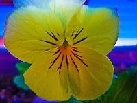 Planter Box Pansies