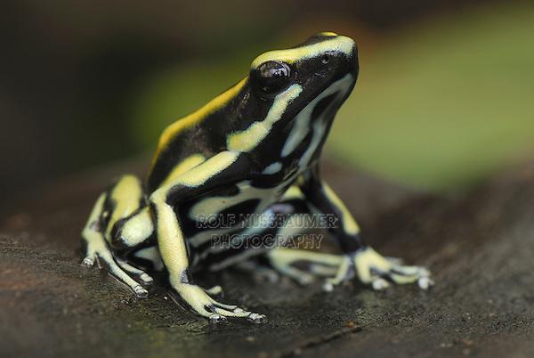 Dyeing Poison Frog (Dendrobates tinctorius), adult, Cauca, Colombia