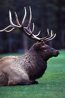Canadian Rockies, Canada - Bull Elk, Wapiti (Cervus canadensis) resting in Forest Meadow